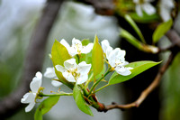Apple Blossoms - Fox Lake, IL